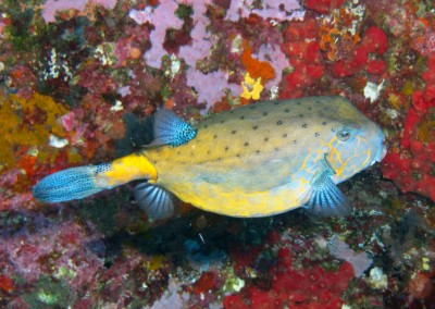 Yellow Boxfish - adult
