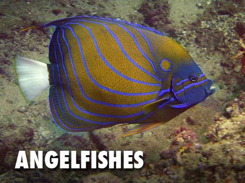Angelfishes