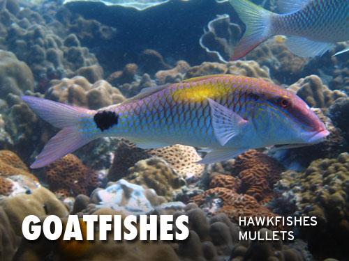 Goatfishes