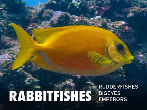 Rabbitfishes